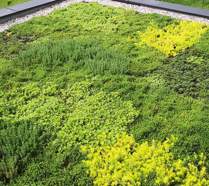 Sedum Floriferum et Sedum Spurium