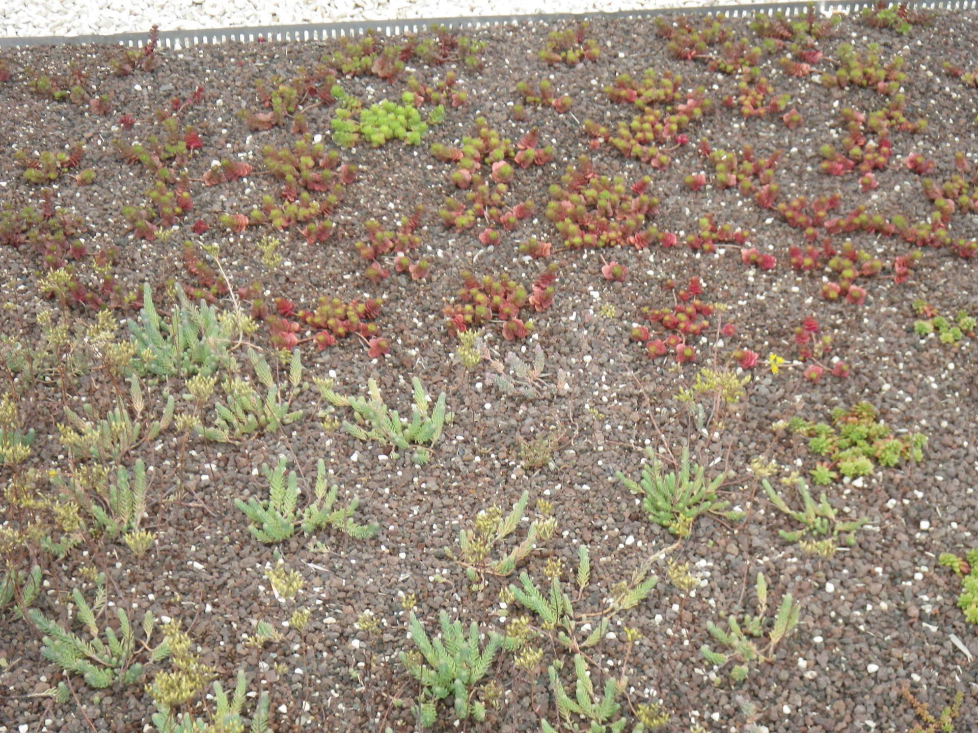 Végétalisation de toiture par plantation de mini-mottes de sedums